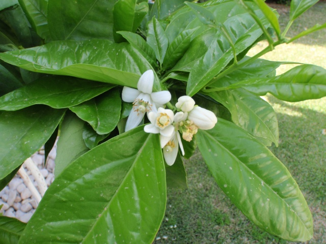 The blossoms on our orange tree. I wish I could also share the aroma. Divine.