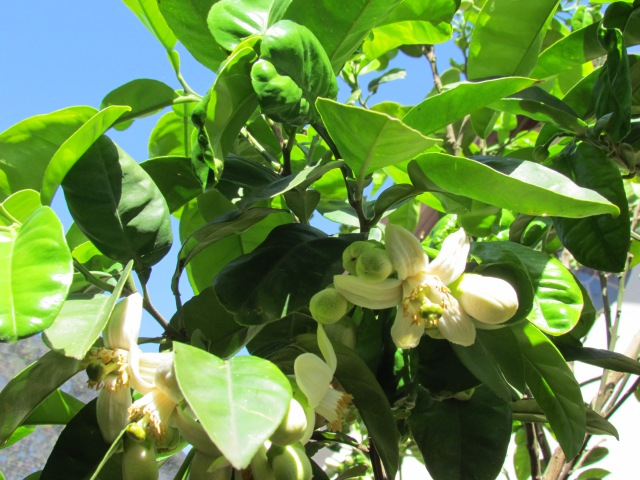 Pomelo blossoms. Next invention? An aromaphoto, so that you could smell that heavenly aroma.