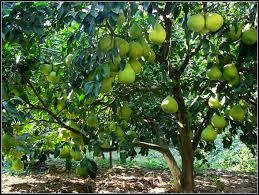 Pomelo tree in China.